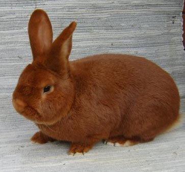 кролик новозеландский красный фото